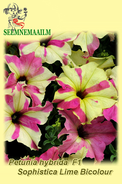 14132_Petunia_Sophistica_LimeBicolor